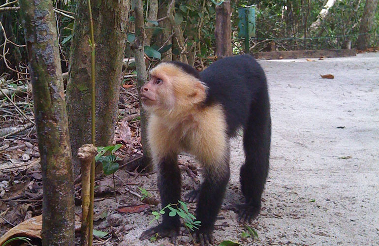 Costa Rica white faced capuchin monkey