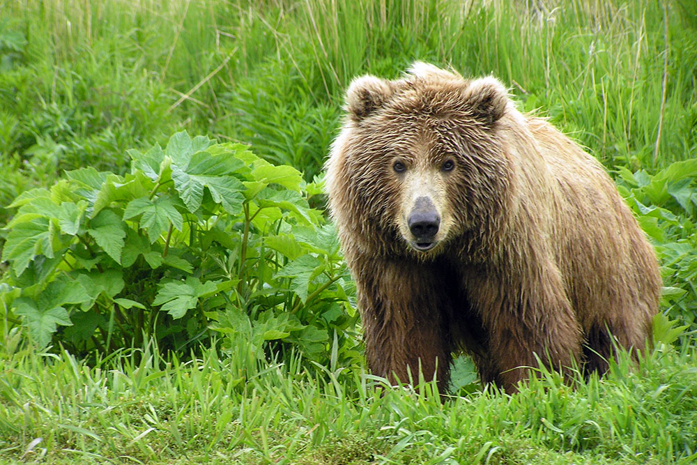 A Kodiak brown bear, Alaska