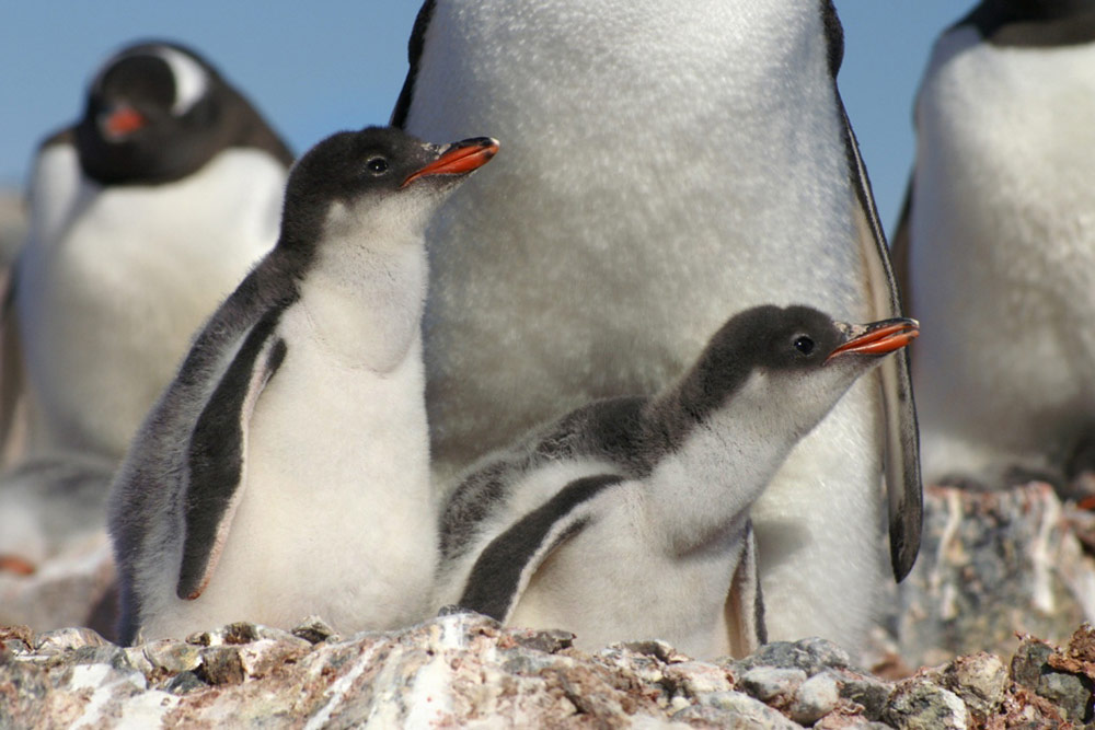 Gentoo Penguin Chicks
