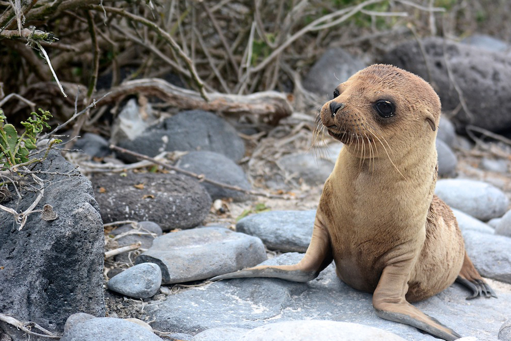 Baby sea lion in the Galapagos Islands