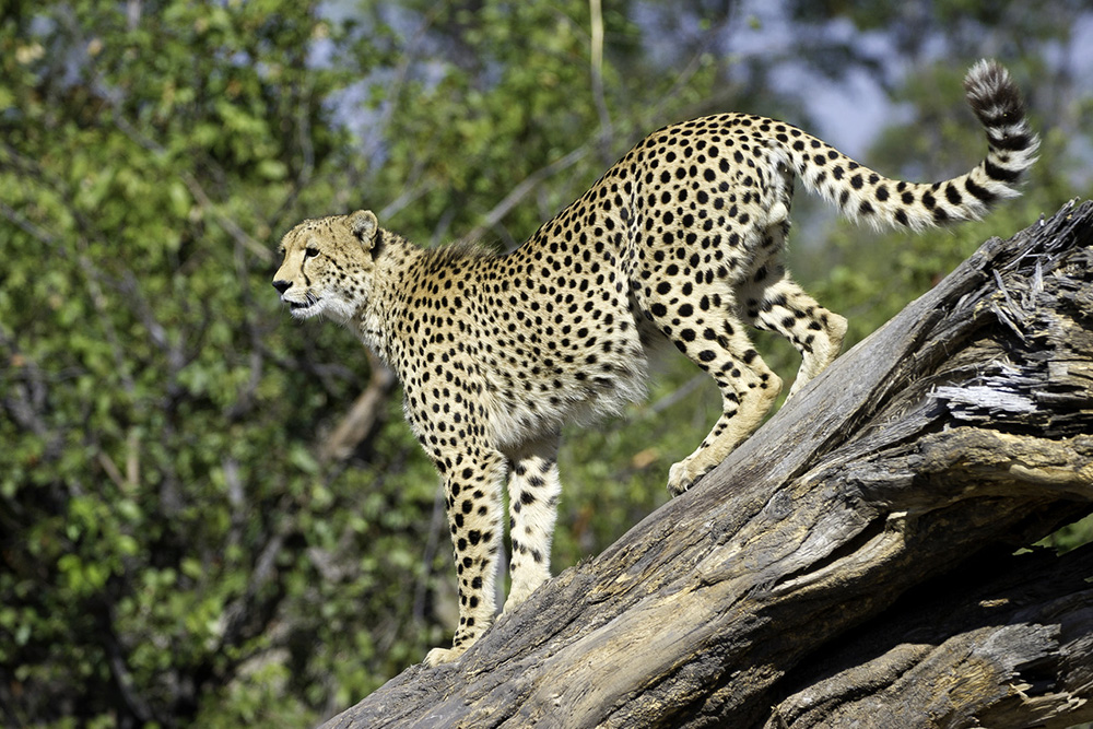 Cheetah in Botswana's Okavango Delta