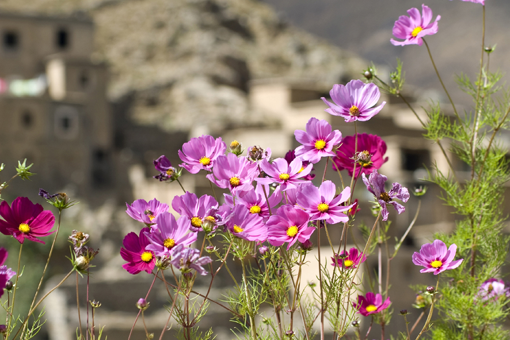 Flowers, High Atlas Mountains, Morocco
