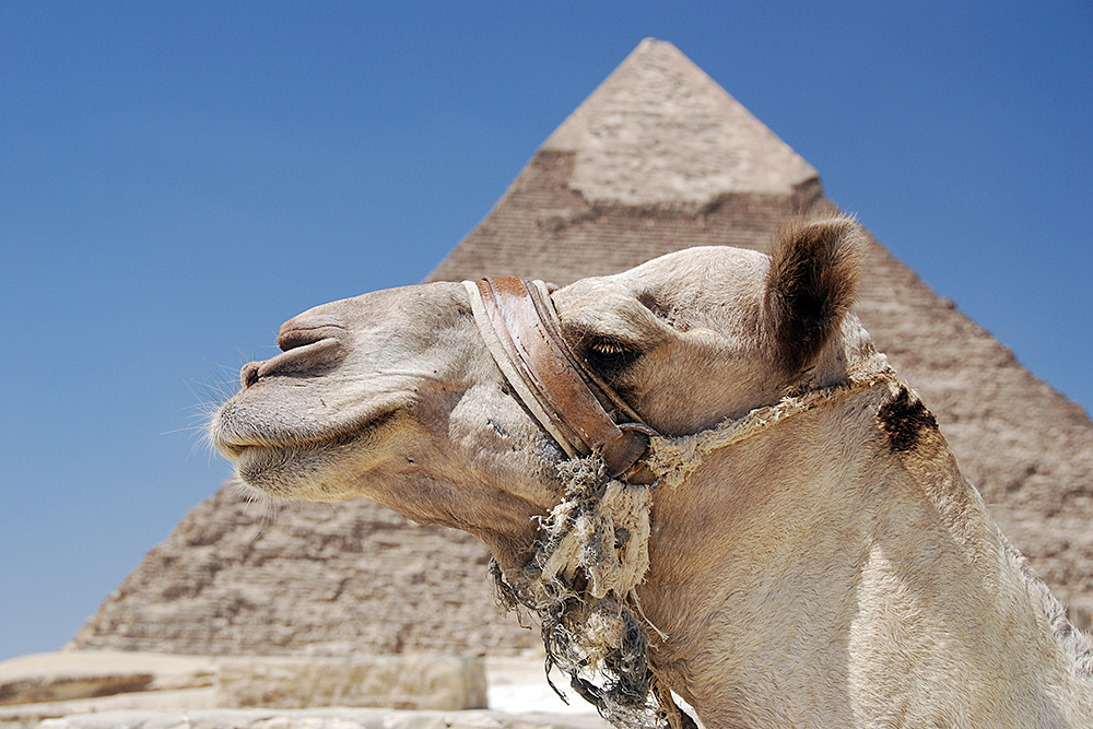 Camel and Pyramid Giza Egypt