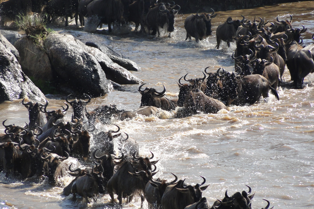 great migration, wildebeest, mara river, masai mara Kenya