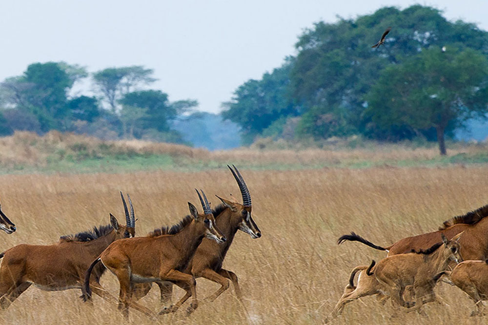 Plains game, Shumba camp, Zambia