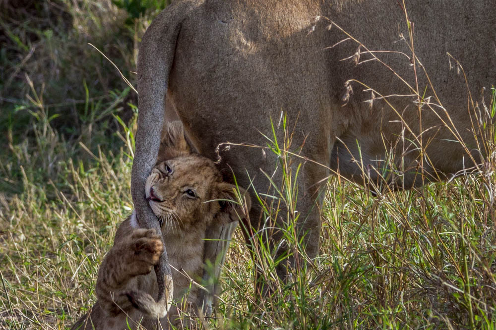 baby lion safari Photo by Susan Portnoy