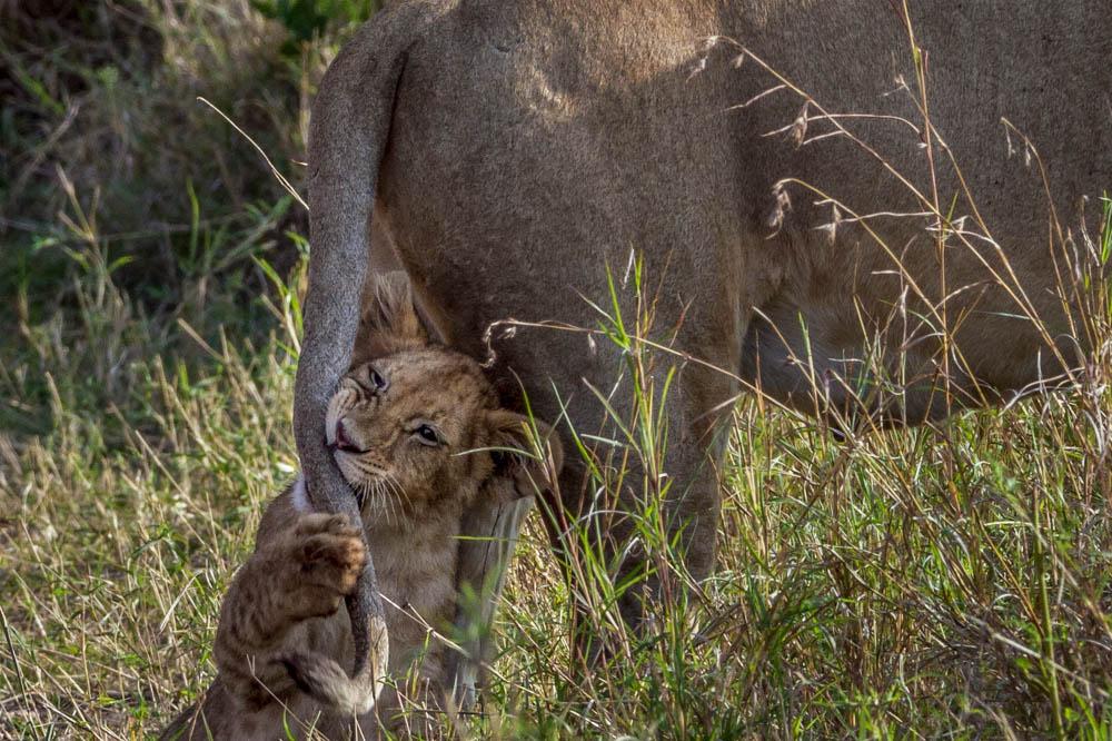 baby lion safari Photo by Susan Portnoy