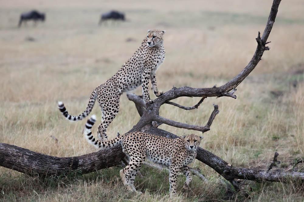 cheetah perching safari Photo by Susan Portnoy