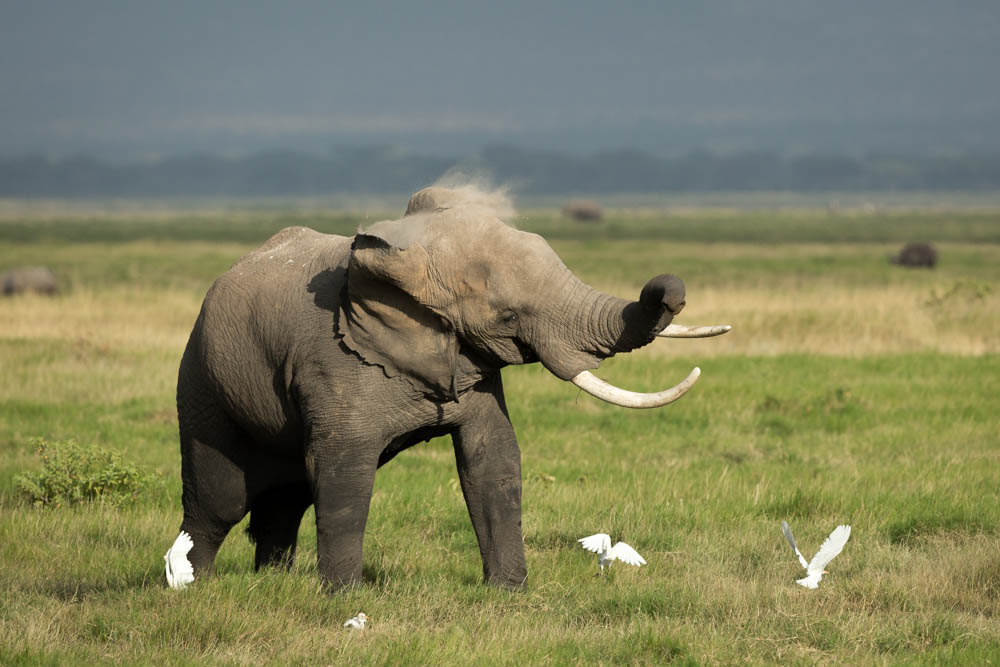elephant shaking head safari Photo by Susan Portnoy