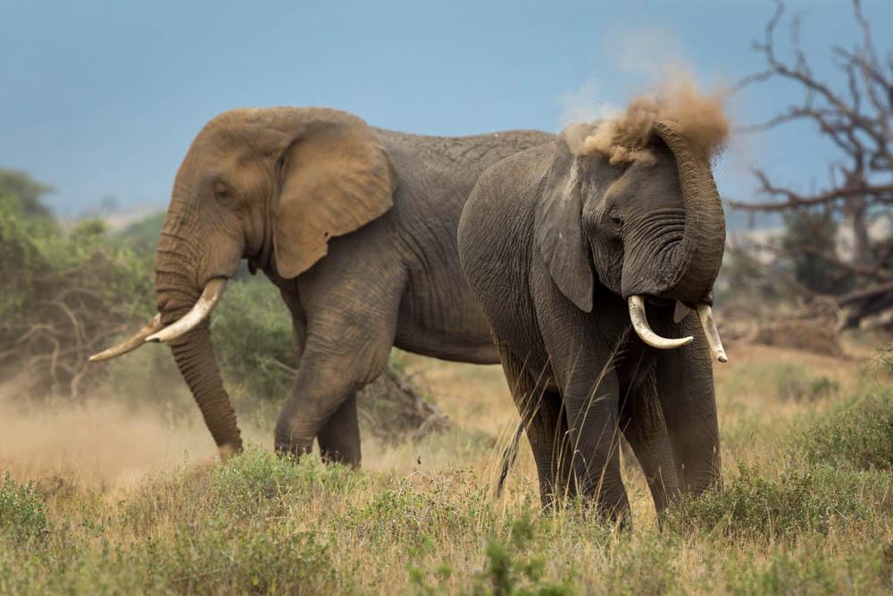 elephants dusting safari Photo by Susan Portnoy
