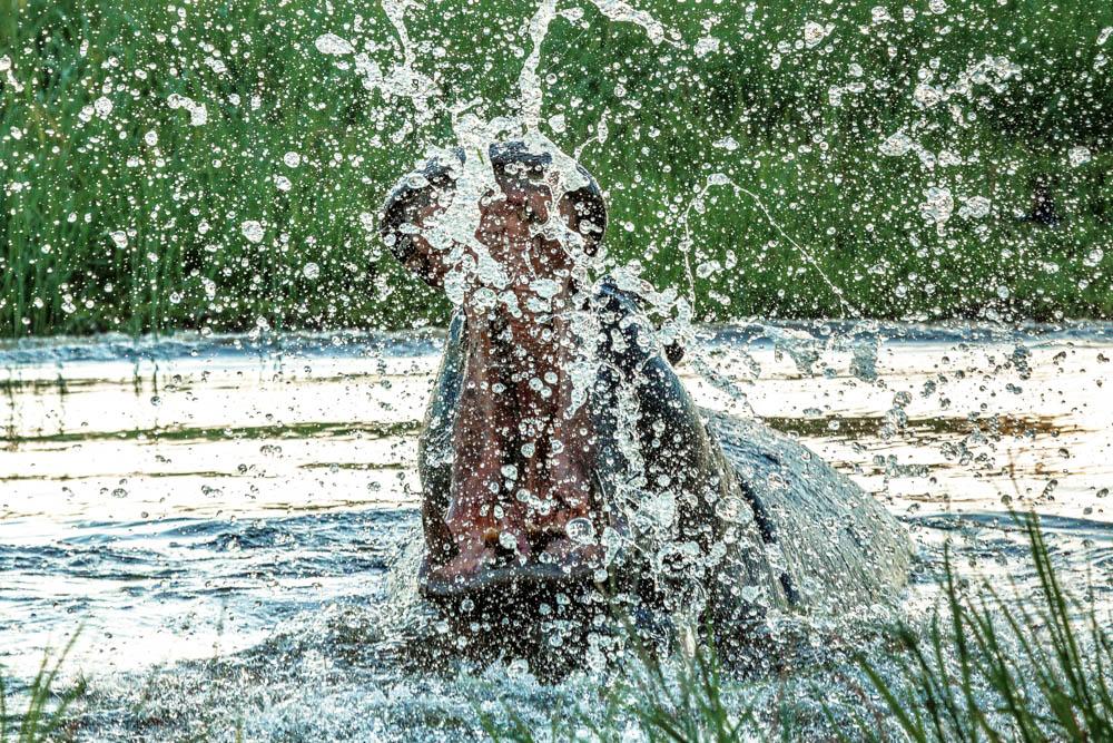 hippo in water safari Photo by Susan Portnoy