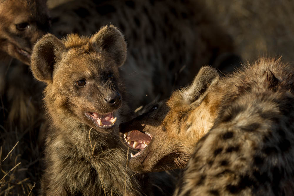 hyena safari photo Photo by Susan Portnoy