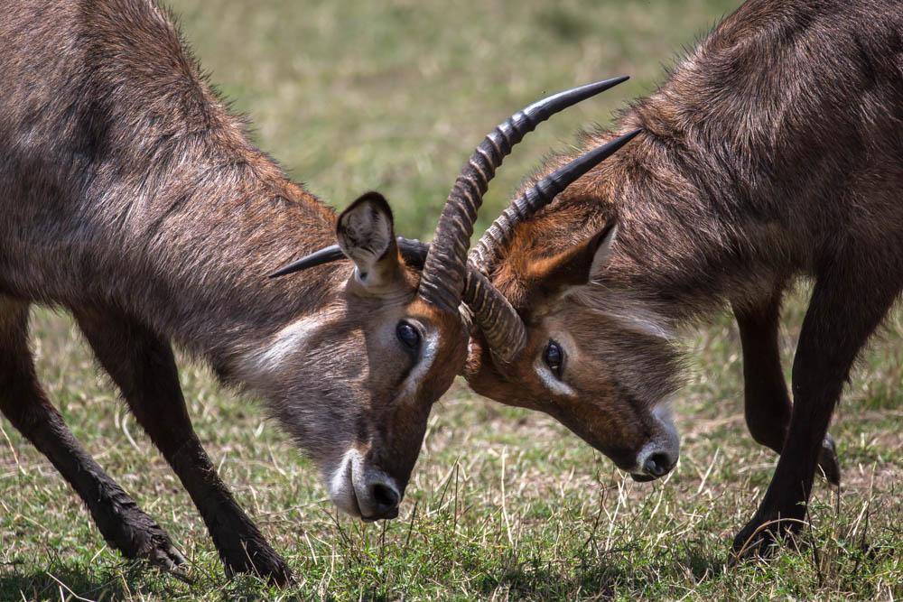 impala locking horns safari Photo by Susan Portnoy