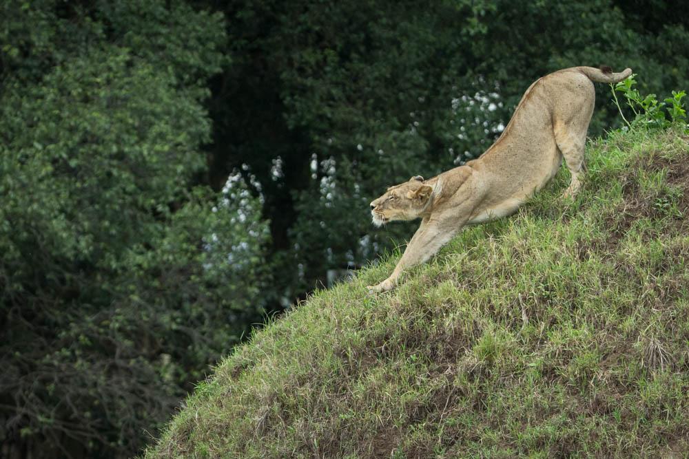 lion stretching safari Photo by Susan Portnoy