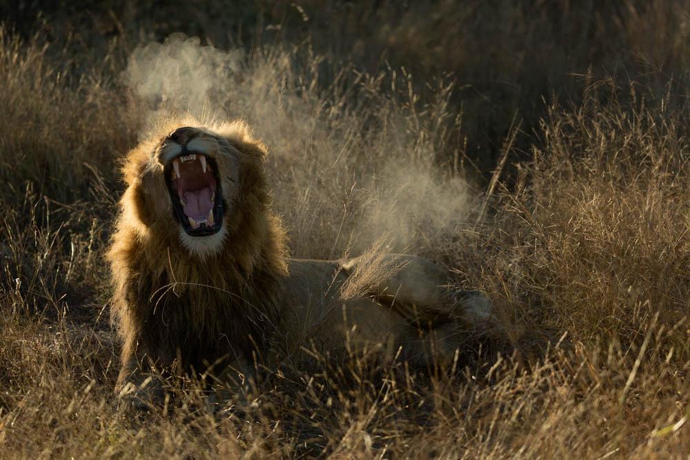 lion yawning safari Photo by Susan Portnoy
