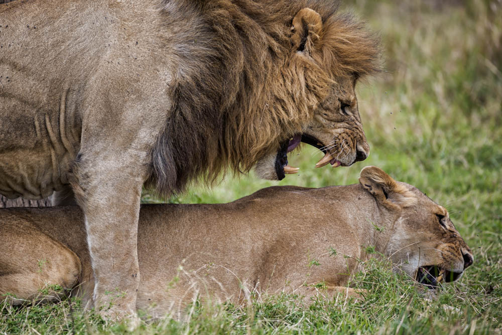 lions mating safari Photo by Susan Portnoy