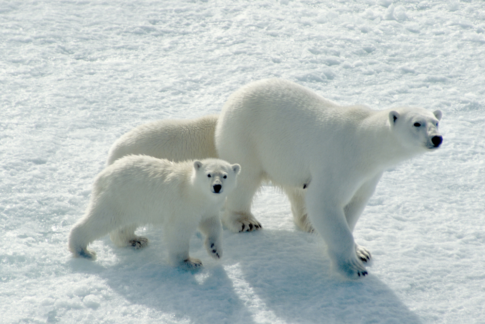Polar Bear, cubs, Arctic