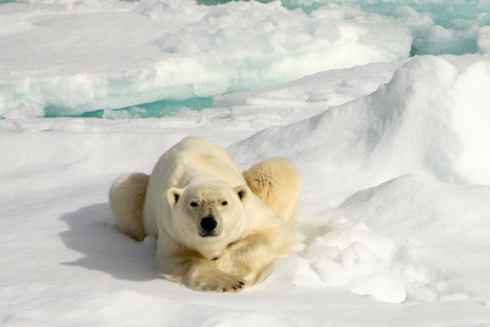 Polar bear, Svalbard, Arctic