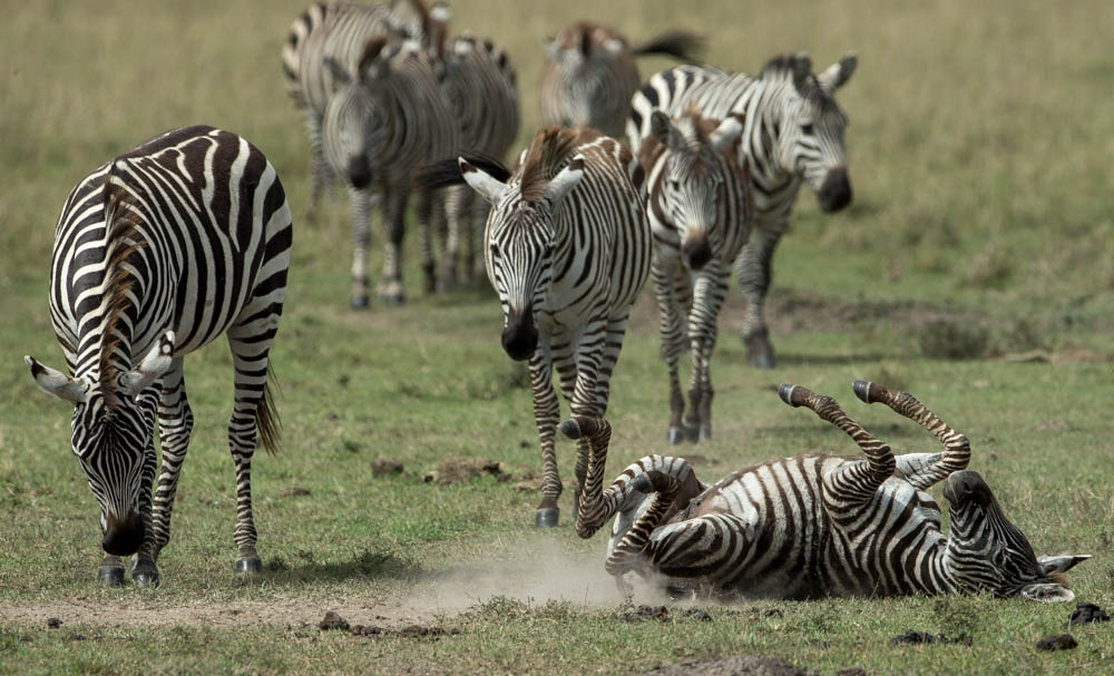 zebra group safari Photo by Susan Portnoy