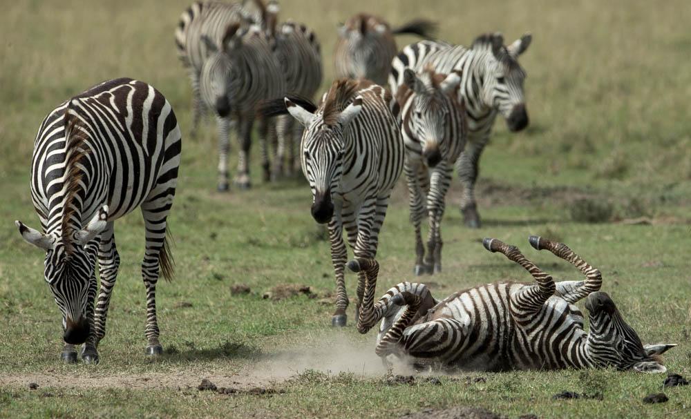 zebra group safari Photo by Susan Portnoy