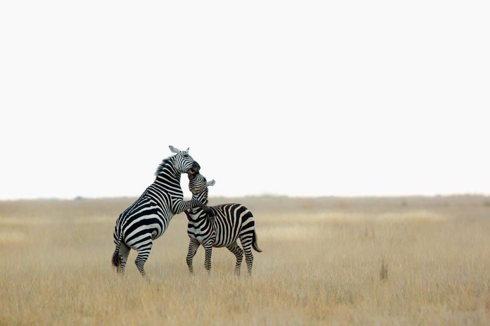 zebras playing safari Photo by Susan Portnoy