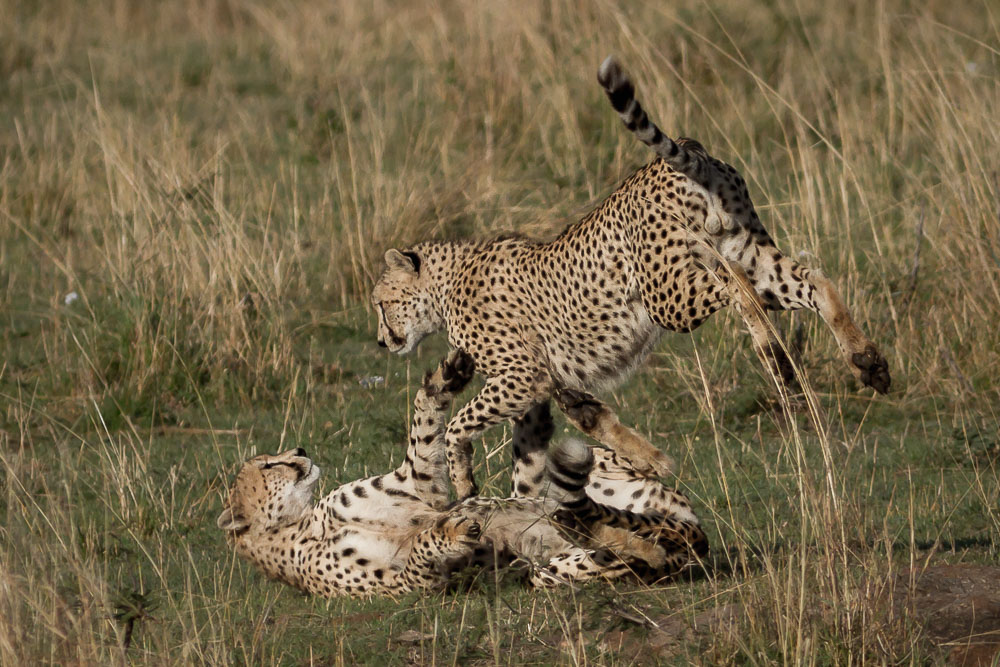 Cheetah in Kenya Photo by Susan Portnoy