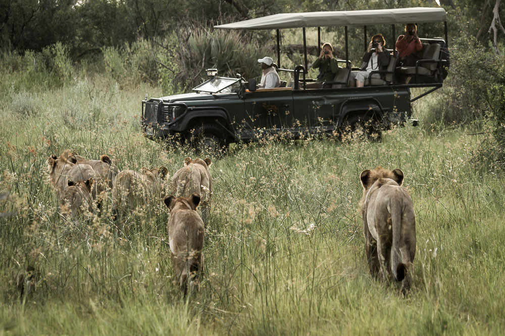 Photographing Lions in Botswana