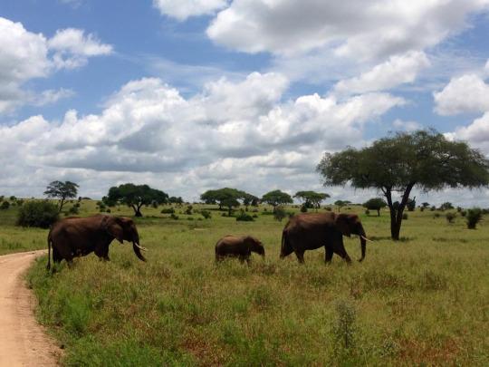 Elephants taking a stroll in Tarangire National Park.
