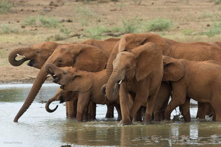 african elephants Photo by Susan Portnoy