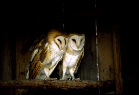 Two barn owls at the Nashville Zoo.