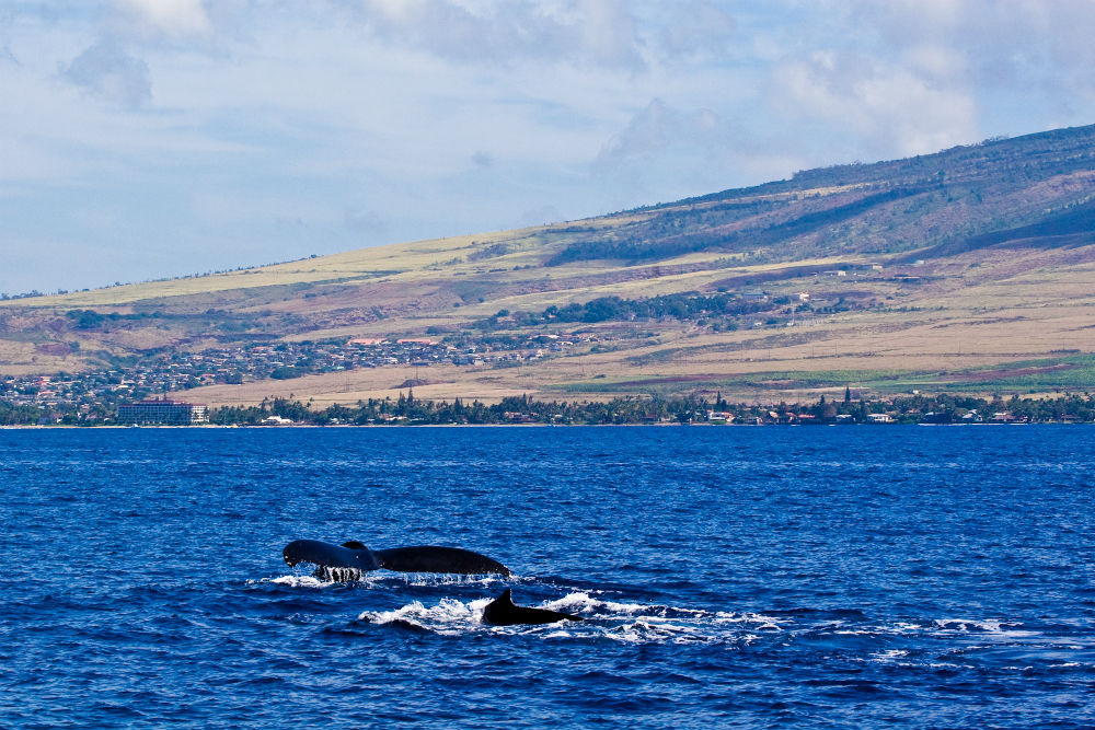 Whales breaching in the waters off Maui