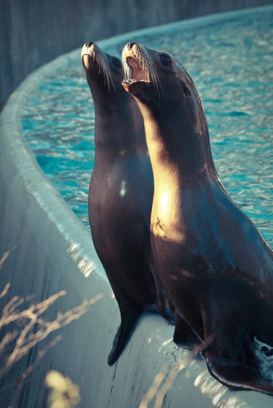 Two sea lions at sunrise at the Bronx Zoo. (Photo: Joey/Flickr)