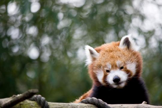 A red panda at the Philadelphia Zoo.