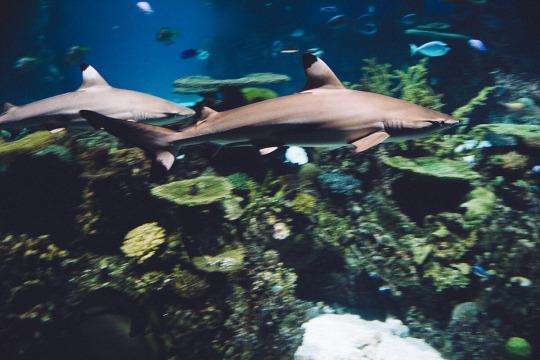 Blacktip shark at the National Aquarium.