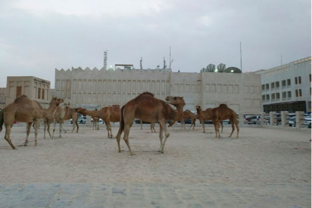 Camels outside Souq Waqif; we were told they were the police department's camels