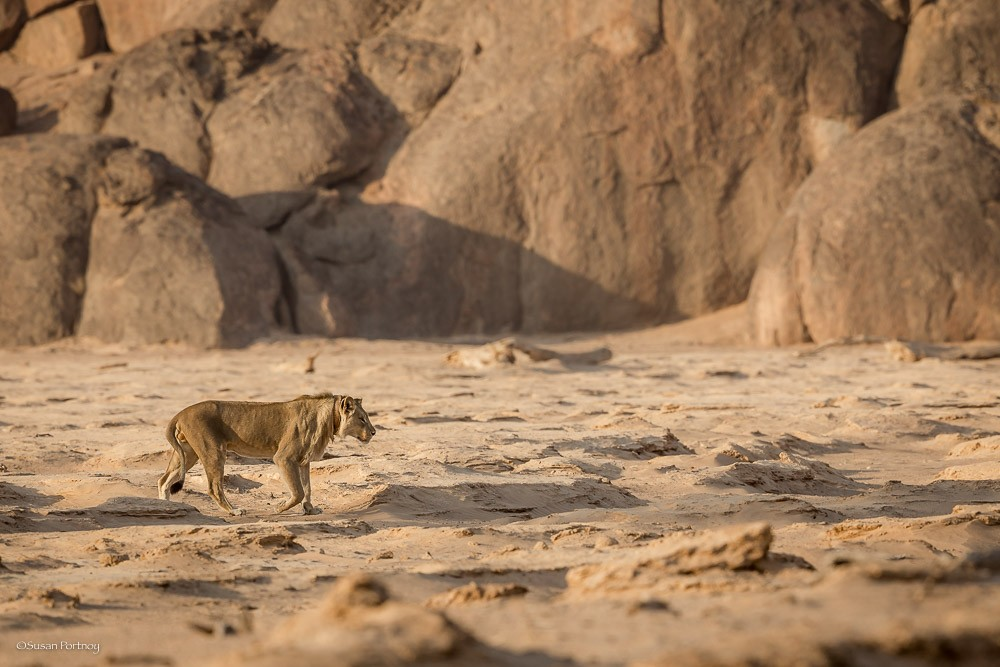 Namibia's desert-adapted lions Photo by Susan Portnoy