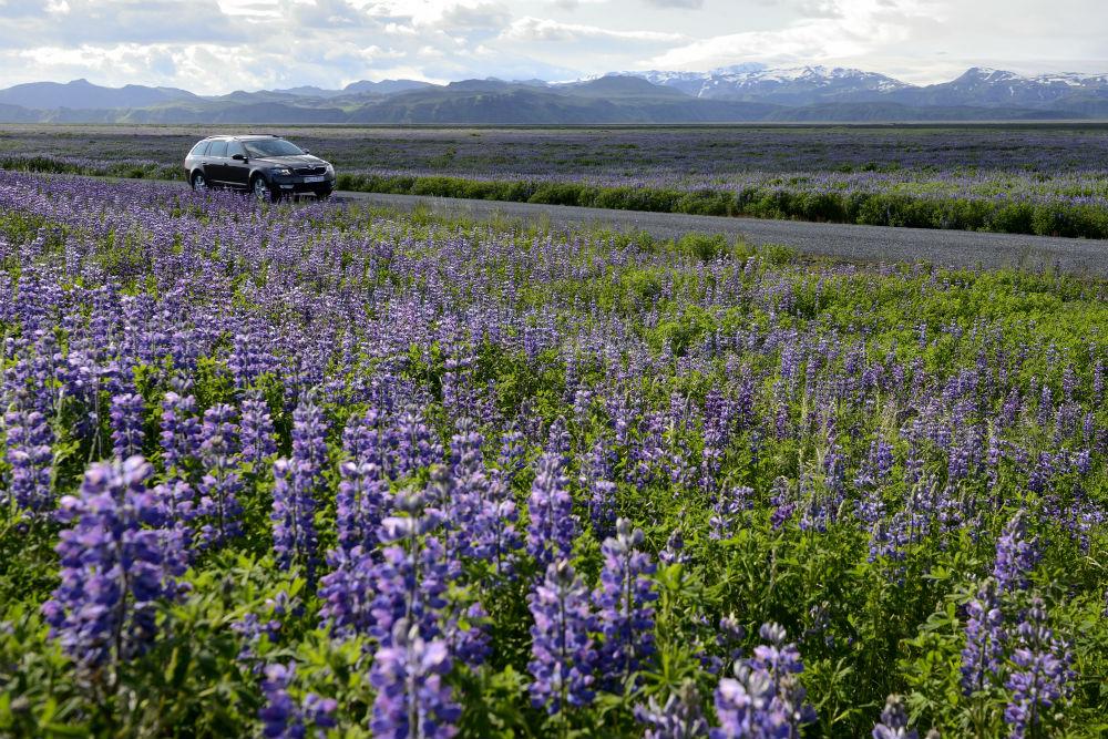 Lupine fields near Vik, Iceland. Photo: Timothy Baker