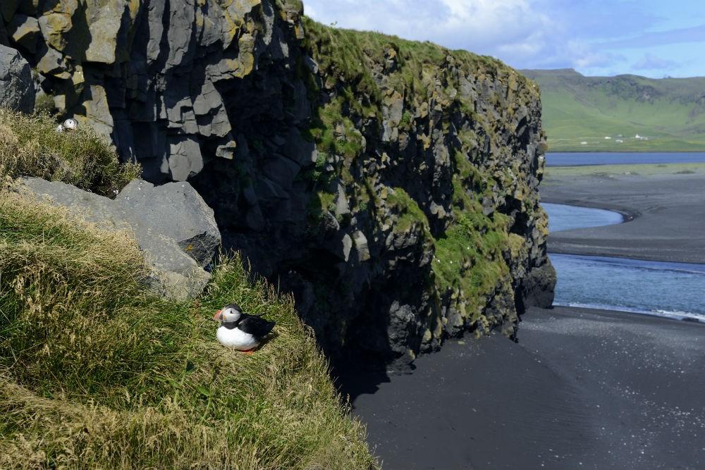 8 puffin on black sand beach DSC_6800