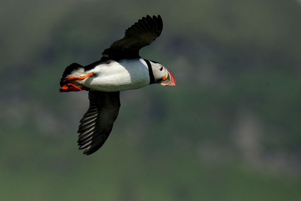 9 puffin flying D30_9324