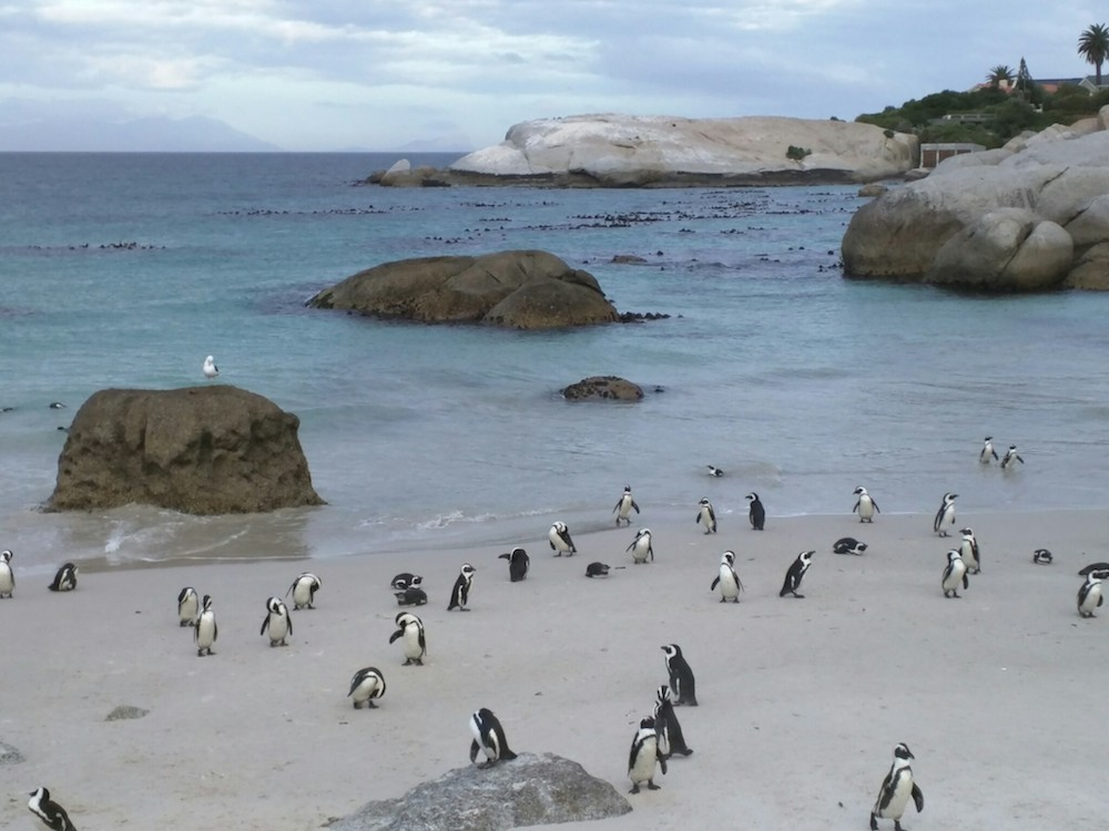 boulders beach penguin colony south africa