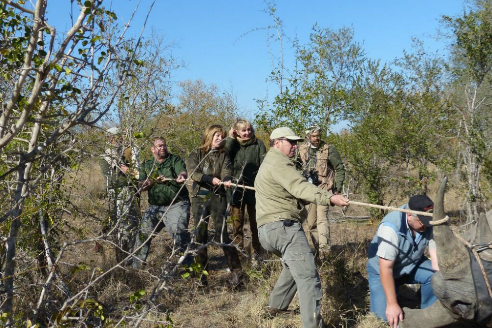 Capturing rhinos for translocation