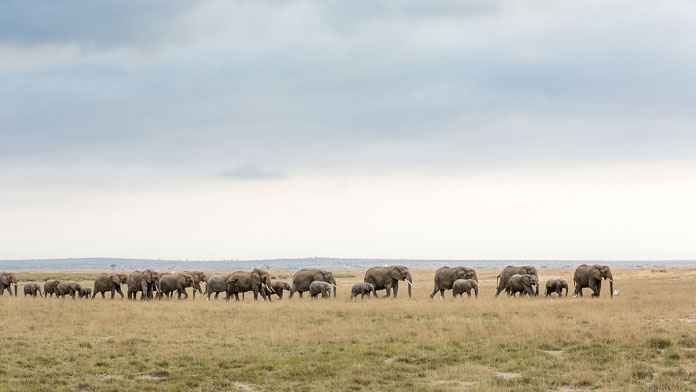 elephants on plains of Amboseli, Kenya Photo by Susan Portnoy