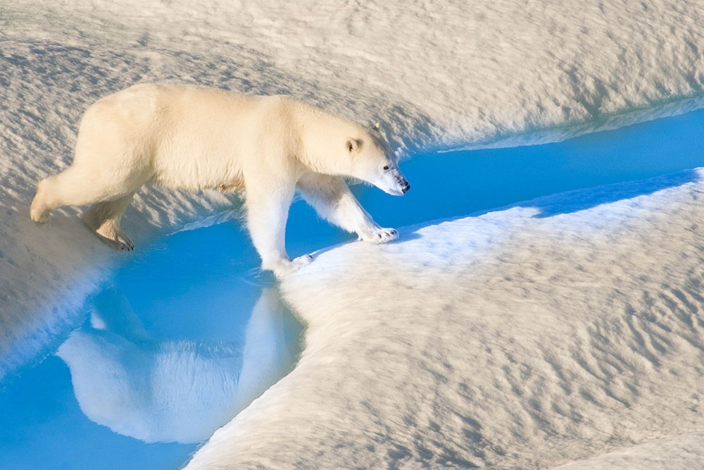 A polar bear crosses blue water in the Arctic