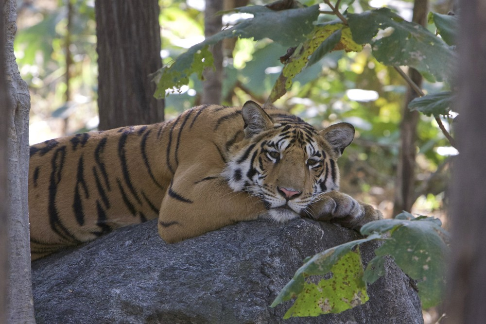 A resting tiger after his kill, at the Kanha National Park, India. Photo by: Sanjay Saxena