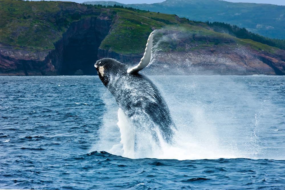 Breaching humpback whale, Newfoundland
