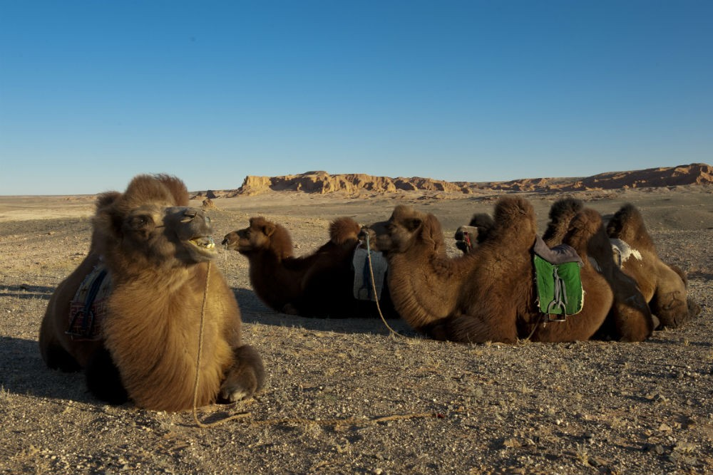 Camels in Mongolia. Photo: R. Stavers.