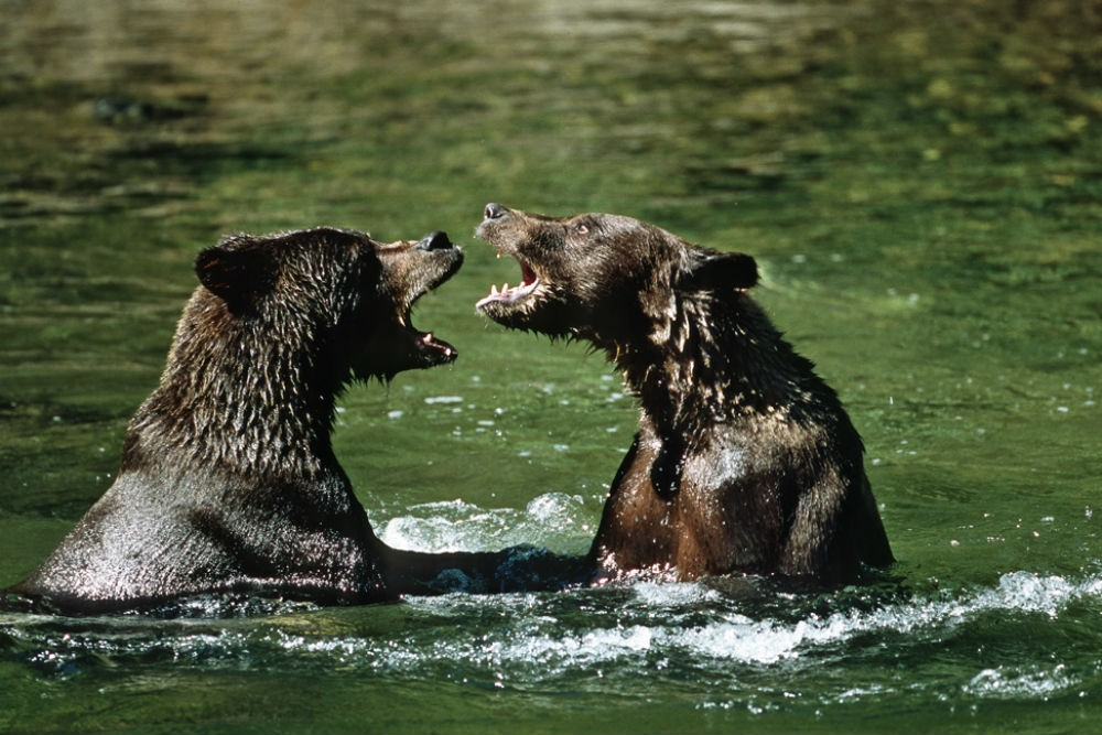 grizzly bears in river in atlin british columbia