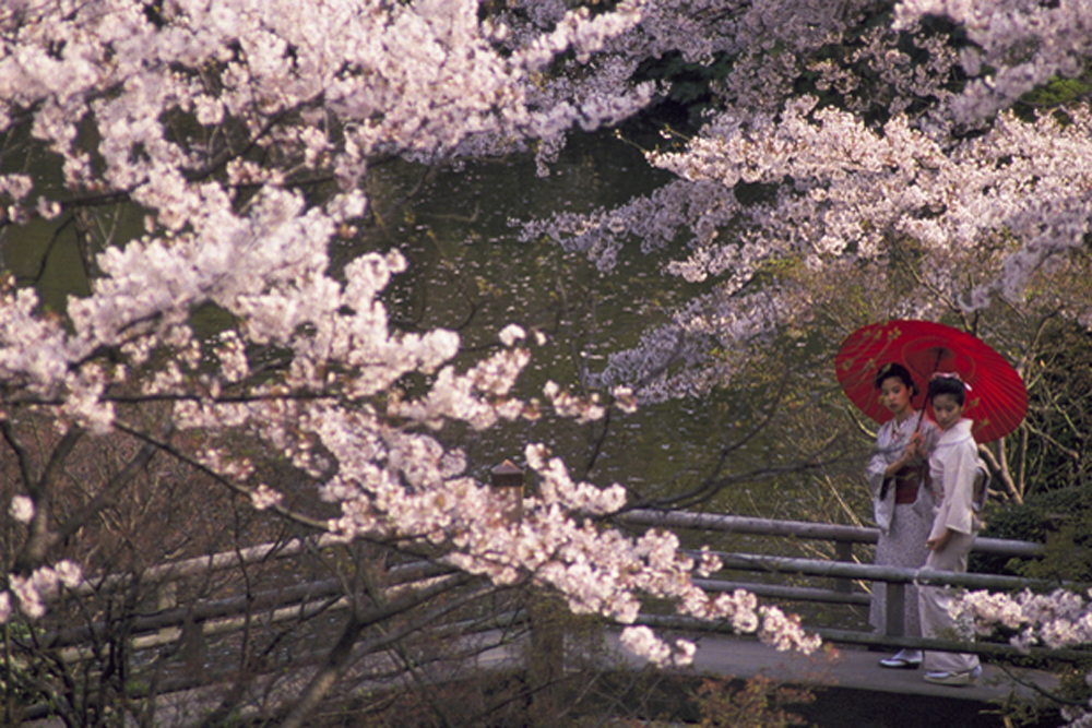 women in kimonos look at cherry blossoms in Japan