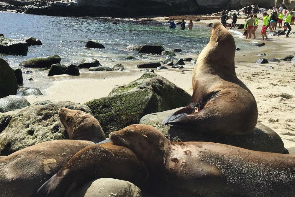 La Jolla Cove seals in California