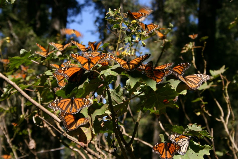 Monarch butterflies, Michoacán, Mexico